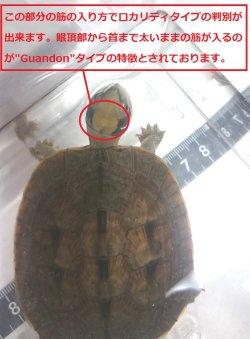 """画像1: ミスジハコガメ""""Guandon""""(広東ロカリティタイプ)★EUCB"""