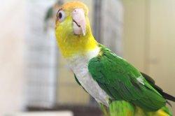 画像5: シロハラインコグリーンタイツ男の子PHBII8F624