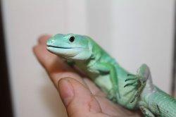 画像1: ミドリガストロカナヘビ ♂完売しました