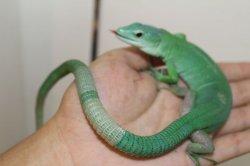 画像2: ミドリガストロカナヘビ ♂完売しました