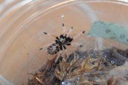 画像2: グリーンボトルブルー Chromatopelma cyaneopubescens