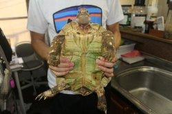 画像4: バブコックヒョウモンリクガメ 30cm