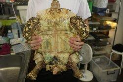 画像5: ソマリアリクガメ 40cm
