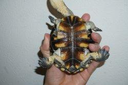 画像3: オオアタマヘビクビガメ