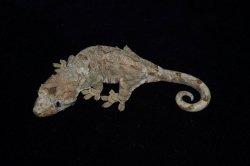 画像1: チャホアミカドヤモリ パイン ♀