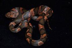 画像1: ユカタンネコメヘビ