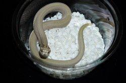 画像3: セイブシシバナヘビ スーパーコンダグリーンゴブリン