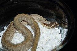 画像2: セイブシシバナヘビ スーパーコンダhetゴースト ♂