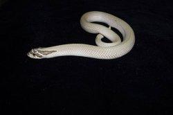 画像2: セイブシシバナヘビ アークティックスーパーコンダ ♂