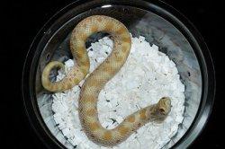 画像4: セイブシシバナヘビ タフィーコンダ