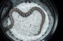 画像2: セイブシシバナヘビ スーパーアークティック
