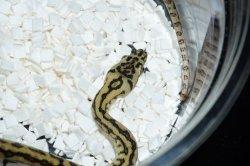 画像3: キャラメルゼブラジャガーhetグラニット ♀