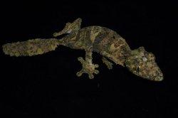 画像1: サメイヘラオヤモリ B個体 ♀