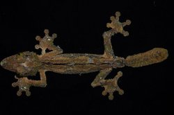 画像3: サメイヘラオヤモリ A個体 ♂