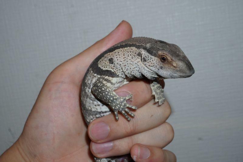アフリカン ロック モニター アフリカンロックモニター!爬虫類・トカゲの基本知識と飼育方法